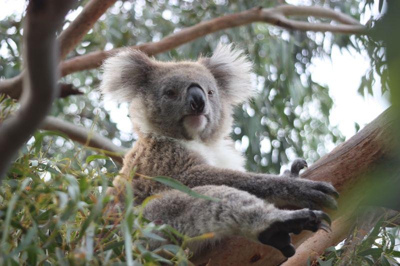 Koala - australischer Beutelbär